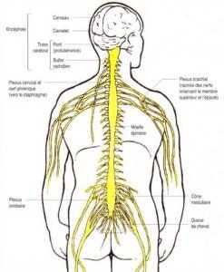 Système nerveux central, constitué de l'encéphale (cerveau) et de la moelle épinière et une partie du réseau nerveux périphérique constitué par les racines nerveuses ( nerfs rachidiens) émergeant de la moelle épinière.