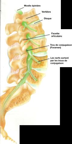 Colonne lombaire de profil montrant les trous de conjugaison et l'origine des nerfs.