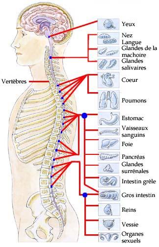 systeme nerveux et organes