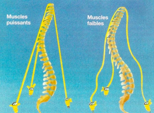 soutien musculaire colonne Spin'Dynamic
